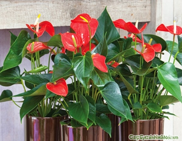 Màu đỏ của hoa Đại Hồng Môn đem lại cho người trồng sự nhiệt tình, nồng ấm