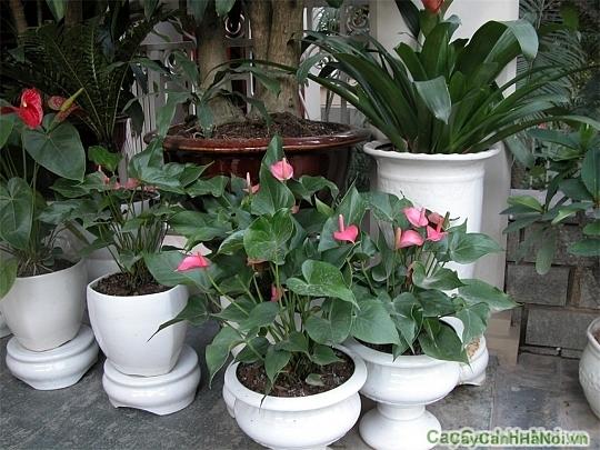 Cây Hông Môn là một trong những lựa chọn độc đáo để trang trí phòng làm việc