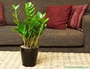 Cây Kim Tiền là loại cây mang lại nhiều tài lộc, thể hiện sự phong thủy mạnh mẽ