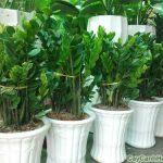 Cần có chế độ chăm sóc cây Kim Tiền đặc biệt để cây sinh trưởng và phát triển tốt
