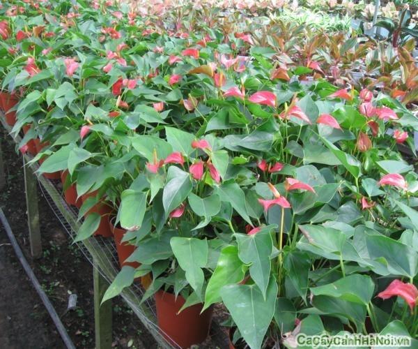 Mỗi màu sắc của cây Tiểu Hồng Môn thể hiện từng ý nghĩa và giá trị khác nhau
