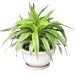 Đại Tứ Lan là loại cây mang đến nhiều cát lợi và điểm lành