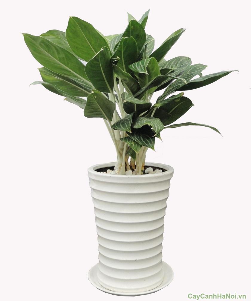 Là loại cây tượng trưng cho sự may mắn, hính thắng, tượng trưng cho tình yêu.