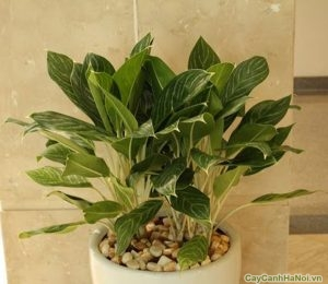 Cây Bạch Mã Hoàng Tử có chiều cao từ 40 – 80cm