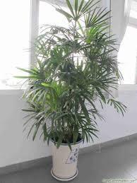 Cây Cau Hawai là loại cây cảnh mang lại nhiều ý nghĩa phong thủy đăc biệt