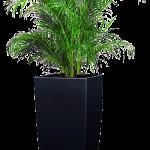 Cây Cau Nhật có khả năng thanh lọc không khí, lọc bụi bẩn