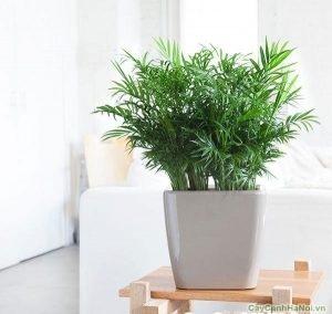 Cây được lựa chọn và trồng ở mọi nơi trong nhà