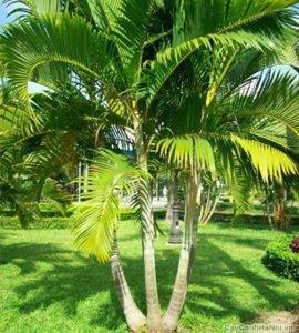Cây Cau Vàng ngoài thiên nhiên