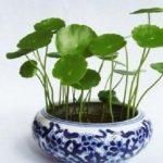 Theo ý nghĩa phong thủy, cây Cỏ Đồng Tiền được biết đến là loại cây có khả năng giúp gia chủ thăng tiến trong sự nghiệp