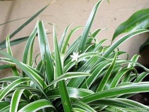 Hoa của cây Cỏ Lan Chi