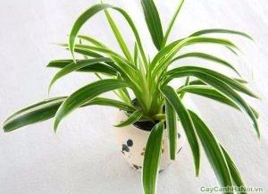 Chăm sóc cây Cỏ Lan Chi