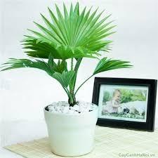 Cây Cọ Nhật theo ý nghĩa phong thủy, cây có tác dụng sinh tài, giữ của