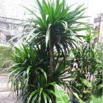 Trưng bày cây Đại Lộc mang lại nhiều ý nghĩa phong thủy