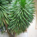 Lá cây thường tập trung vào phần trên đỉnh và có dạng thuôn hình giáo