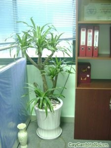 Là loại cây có sức sống bền bỉ dẻo dai nên rất dễ chăm sóc