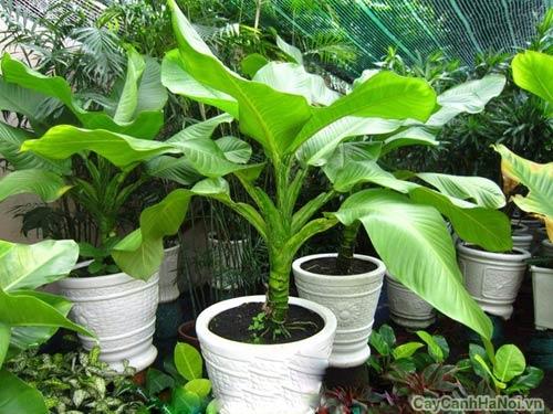 Đại Phú Gia là loại cây có ý nghĩa về tiền tài, sức khỏe