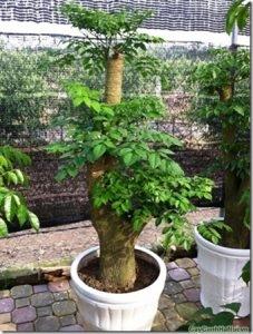 cây Hạnh Phúc là loài cây mang đến hạnh phúc, niềm vui, sức khỏe, sự đầm ấm cho gia chủ