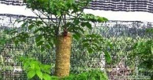 Là loài cây thân gỗ