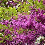Hoa của cây Hạnh Phúc