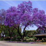 Cây Hạnh Phúc trồng trước nhà