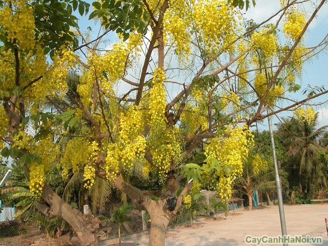 Cây Hoàng Hậu là loại cây đem lại bóng mát