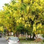 Cây Hoàng Hậu góp phần tô điểm cho môi trường sống