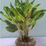 Cây cảnh dễ trồng, đẹp, nhỏ gọn nên cây khá phù hợp để trồng trong chậu, sử dụng trang trí văn phòng