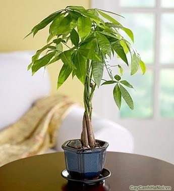 Đặt cây Kim Ngân trong phòng khách