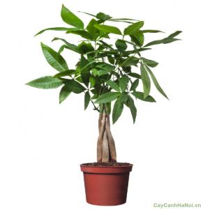 Cây Kim Ngân Xoắn có nghĩa là cây tiên, đem lại cho gia chủ nhiều may mắn