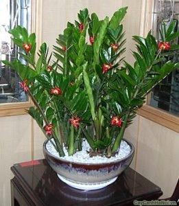 Cây Kim Phát Tài ra hoa