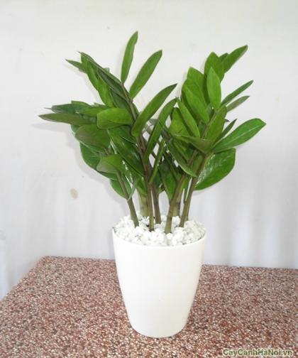 Kim Phát Tài là loài cây có rất nhiều ý nghĩa phong thủy