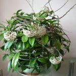 Theo ý nghĩa phong thủy, cây Lan Cẩm Cù có ý nghĩa may mắn