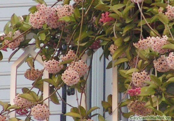 Hoa của cây Cẩm Cù mọc ở nách lá nên rất sai hoa