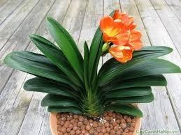 Hoa cây rất to và thường có màu vàng hoặc màu đỏ