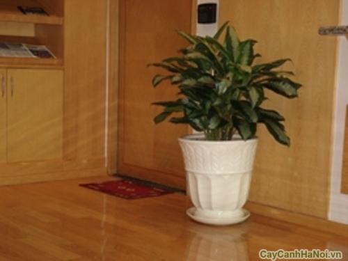 Cây Ngân Hậu là loại cây cảnh mang lại nhiều may mắn cho gia chủ