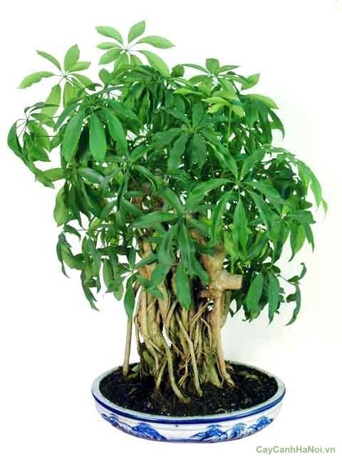 Image result for cây ngũ gia bì
