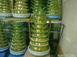 Chăm sóc cây Phát Lộc Tâng
