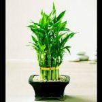 Cây Phát Lộc Tầng thuộc loài cây có thân thảo, đốt rỗng và có lá màu xanh thẫm