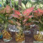 Cây Phú Qúy là loại cây rất dễ chăm sóc