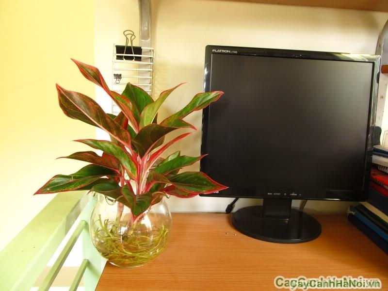 Cây Phú Qúy là loại cây mang lại nhiều ý nghĩa phong thủy