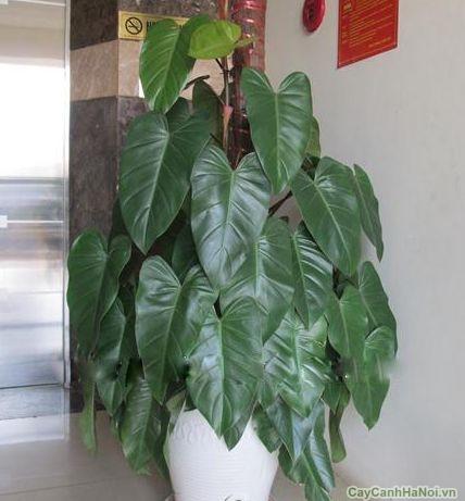 Saphia là loài cây có ý nghĩa mang đến tài lộc và sức khỏe cho gia chủ.
