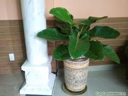 Cây thích hợp để trưng bày tại sảnh lễ tân, hành lang, văn phòng hay cầu thang.