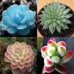 Sen đá là một loài hoa rất dễ sống và không đòi hỏi người trồng phải thường xuyên chăm sóc