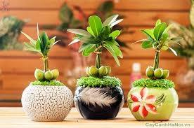 Mỗi cây Tài Lộc có từ 3 đén 5 quả