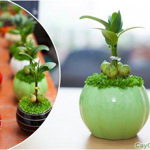 Cây Tài Lộc là một trong số những loại cây cảnh được nhiều người yêu thích nhất