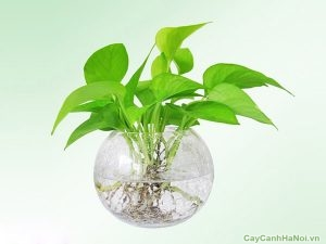 Tai Phật là loại cây chịu bóng rất thích hợp được trồng trong bóng râm