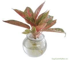 Cây Thịnh Vượng có lá màu xanh và pha lẫn màu hồng
