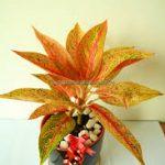 Cây Thịnh Vượng là loại cây biểu trưng cho sự may mắn, tốt lành