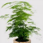 Thủy Tùng thuộc loại cây bụi nhỏ, dáng cây thanh mảnh và có lá màu xanh