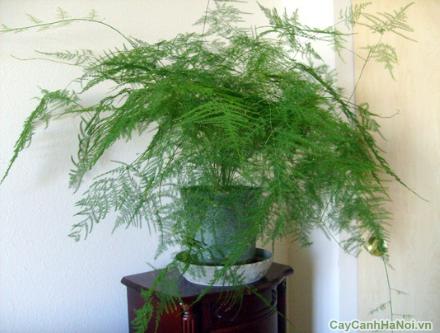 Cây Thủy Tùng là loài cây có tác dụng Vượng. Tức nghĩa đây là loại cây mang lại nhiều may mắn, bình an tài lộc cho gia chủ.